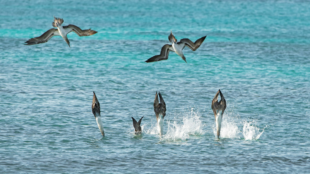 Blue-footed boobies diving for fish