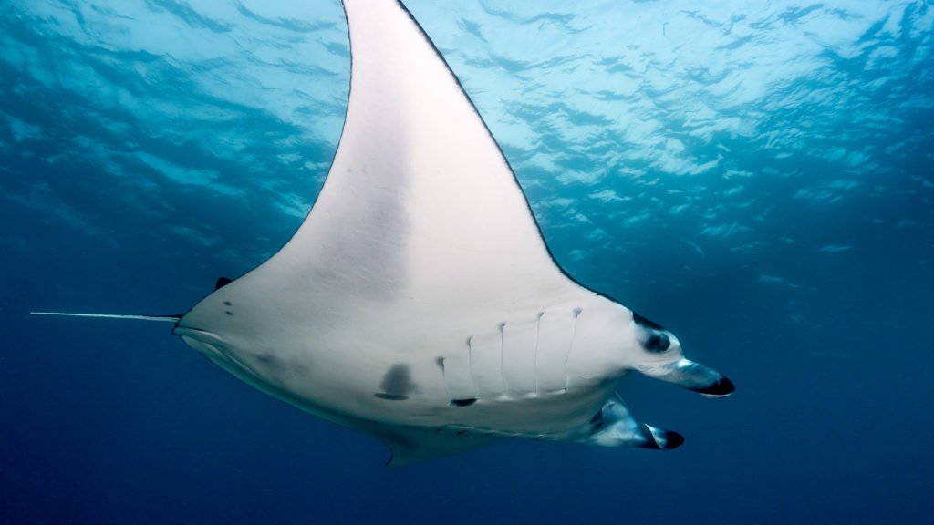 A large Manta Ray hovers above a group of divers in the Komodo National Park