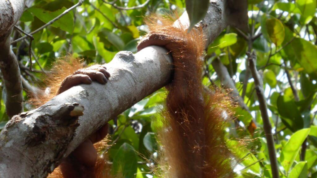 Orangutans hands holding branch of a tree with sun shining through its fur.