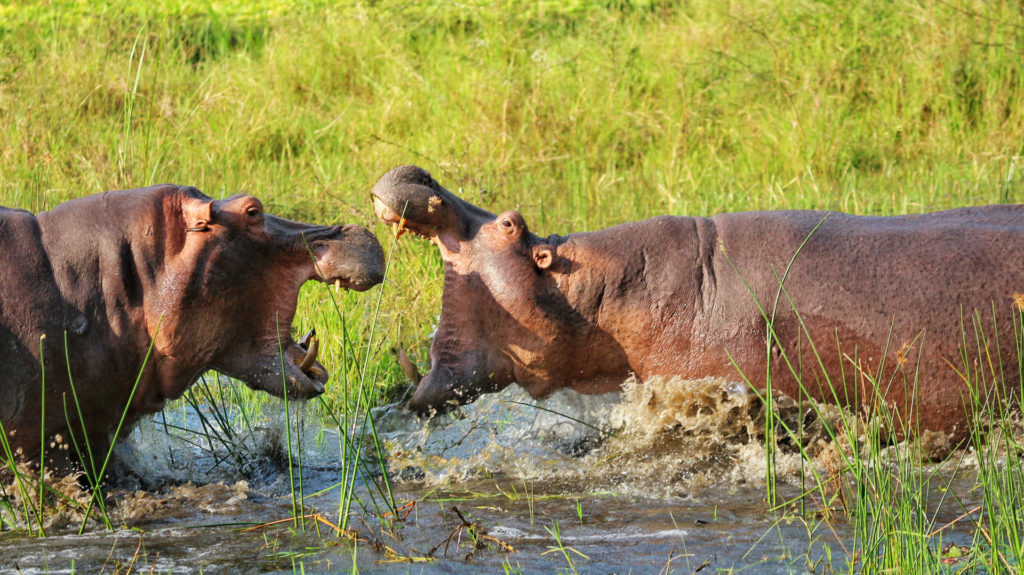 HIppos fighting, Liwonde National Park, Malawi