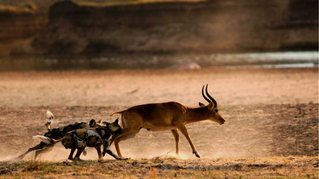 African Wild Dogs, Zambia, Southern Africa