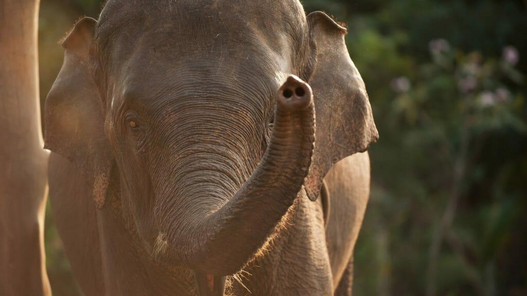 Close up of Asian Elephant slit by evening sunshine.
