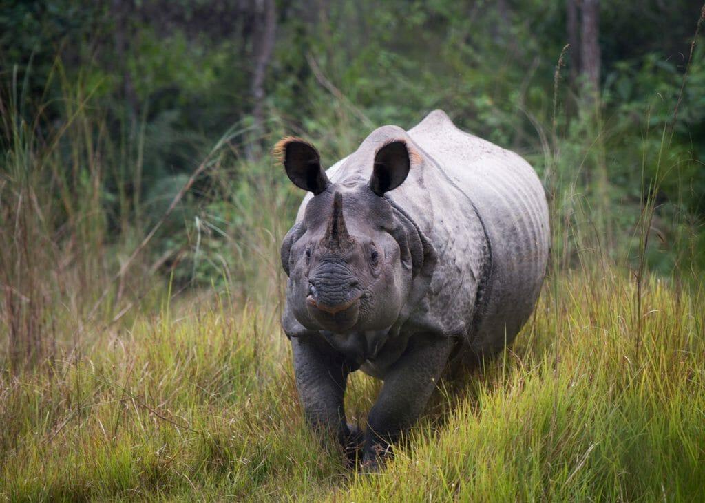 Asian Rhino, Tiger Tops Tharu, Chitwan, Nepal