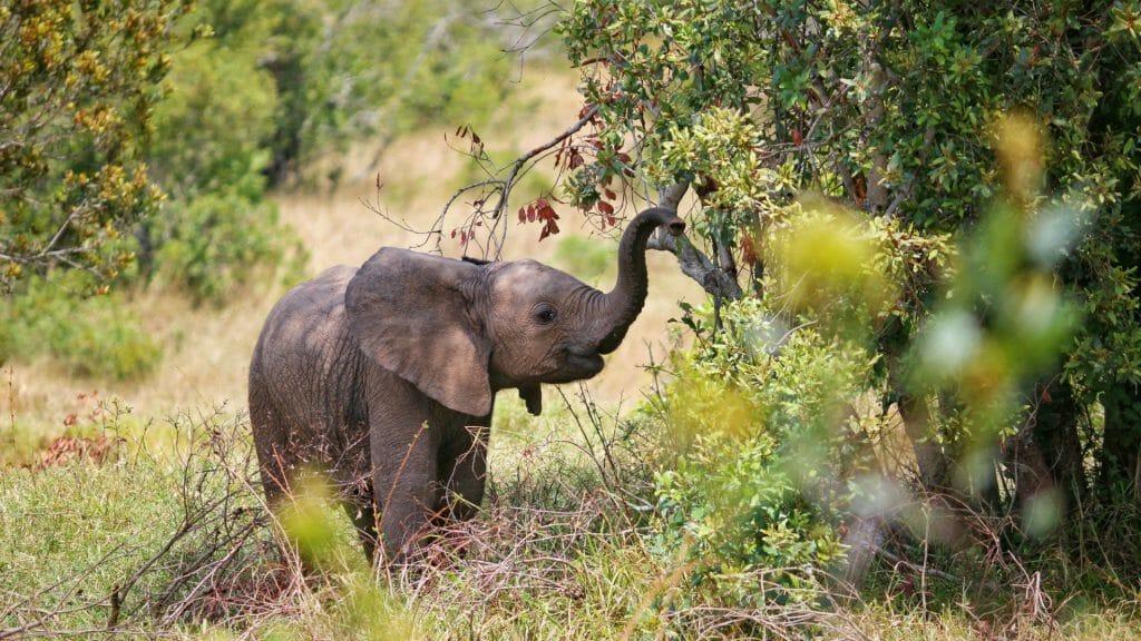 Baby elephant, Ol Pejeta, Kenya