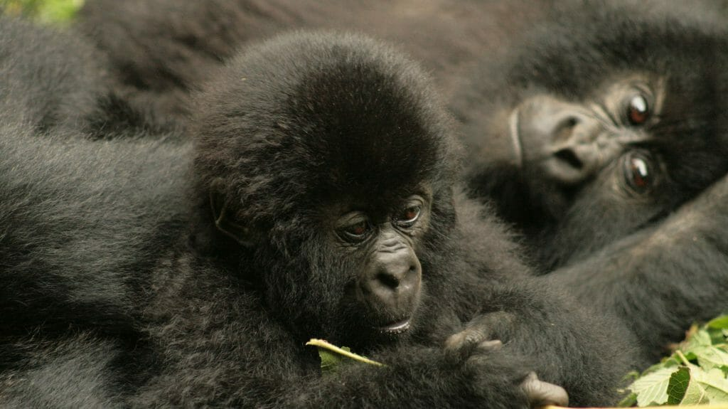 Bbay gorilla playing, Virunga National Park, Democratic Republic of Congo