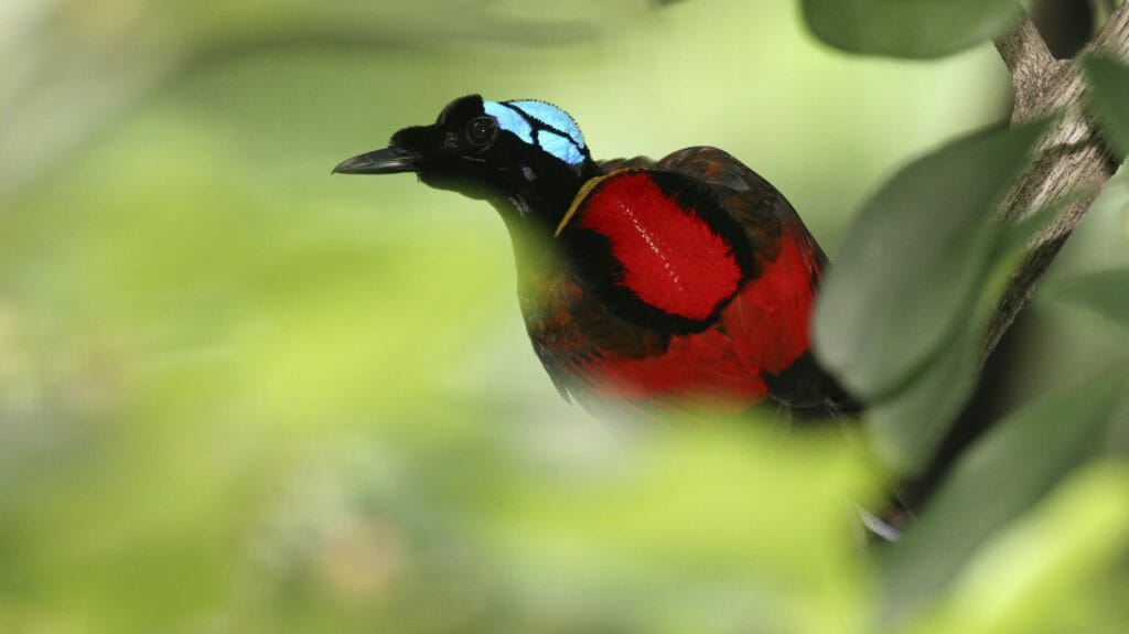 Bird of Paradise, Indonesia, Sea Trek Cruises