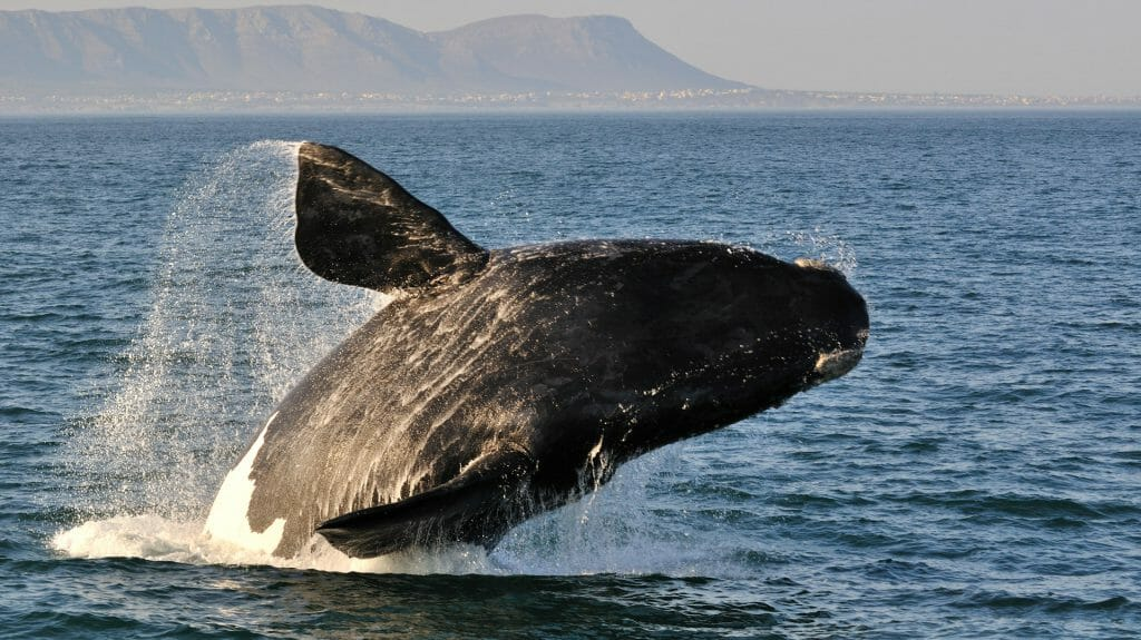 Breaching Southern Right Whale, Cape Town, South Africa