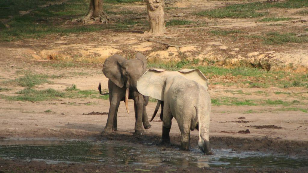 Bull elephants stand off, Dzanga Bai, Dzanga Sangha, Central African Republic
