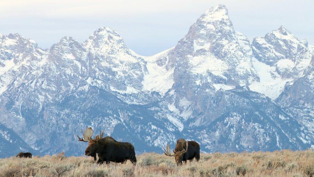Bull Moose, Grand Teton National Park, USA