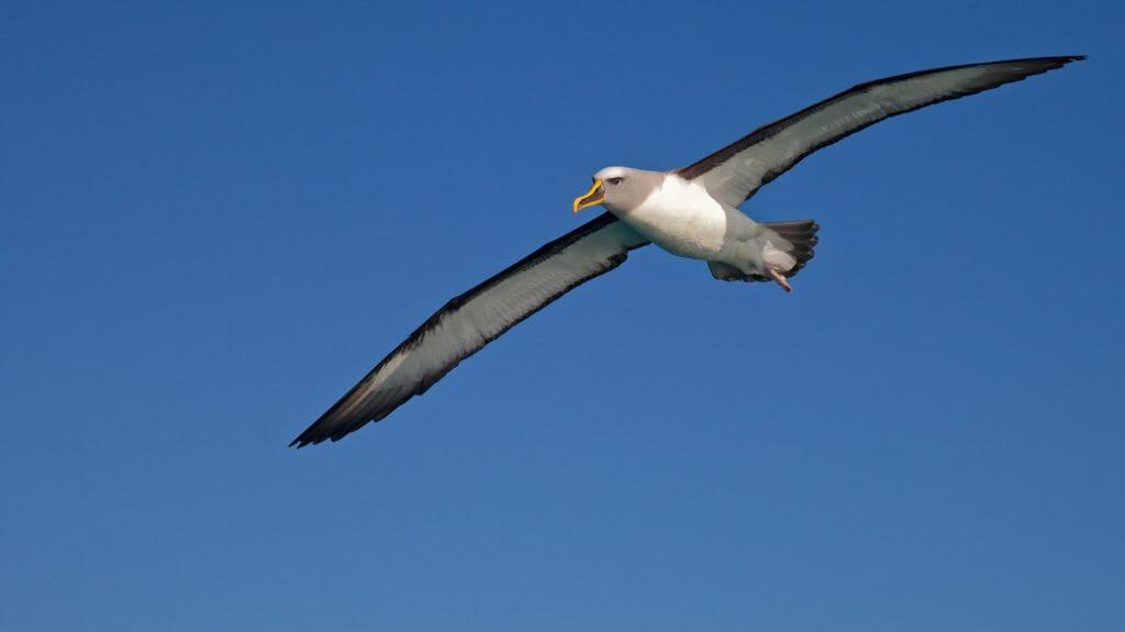 Bullers Albatross, Kaikoura, New Zealand