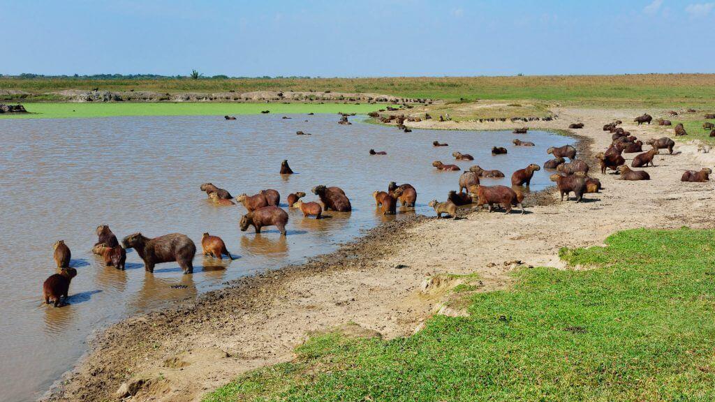 Capybara in the Llanos, Colombia