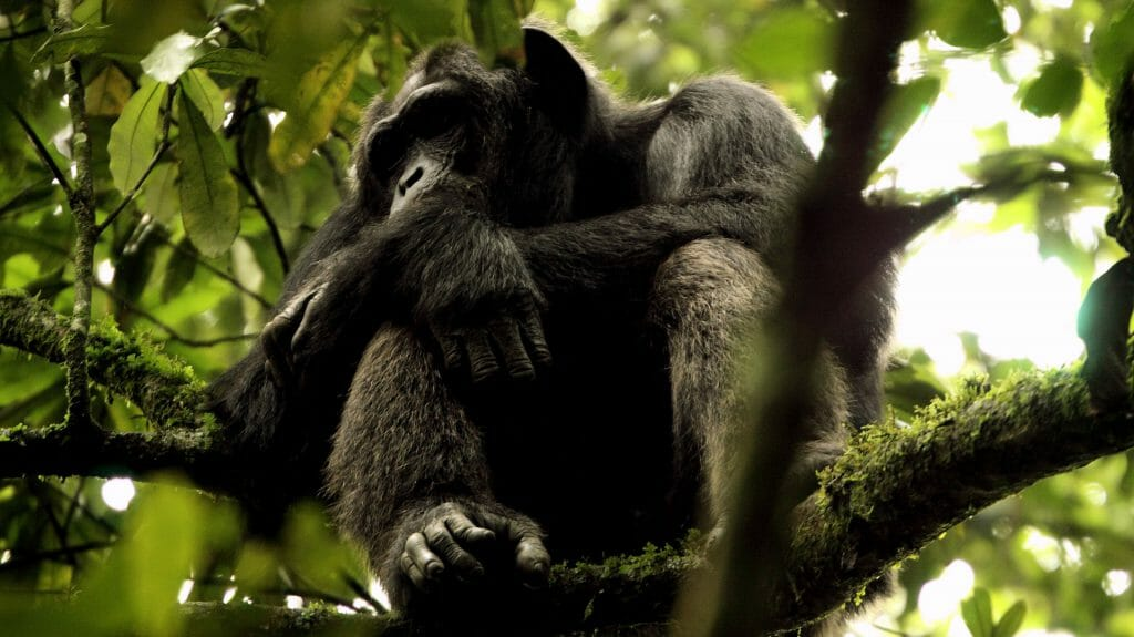 Chimpanzee In Tree, Kyambura Gorge, Uganda
