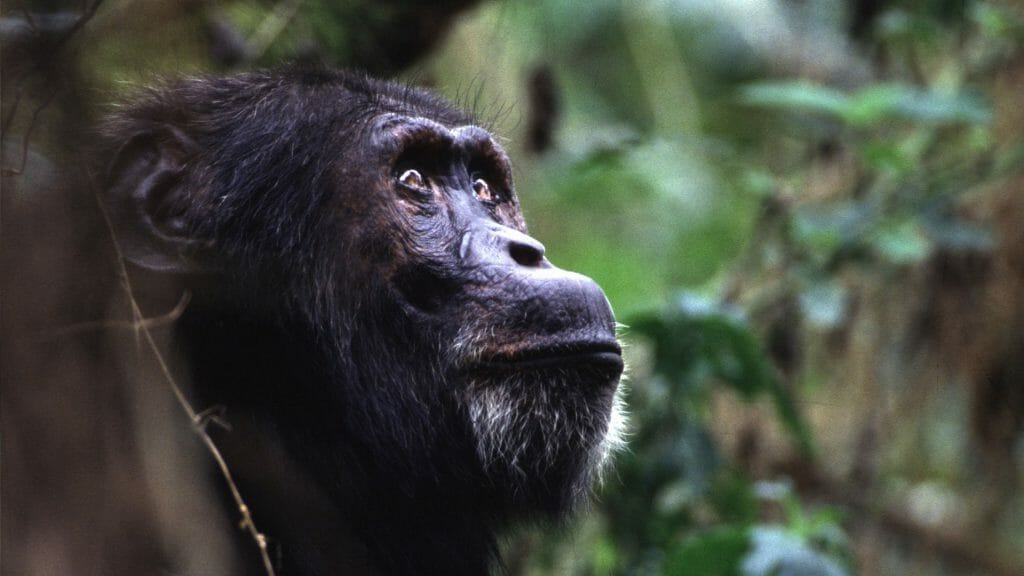 Chimpanzee Portrait, Kibale Forest, Uganda