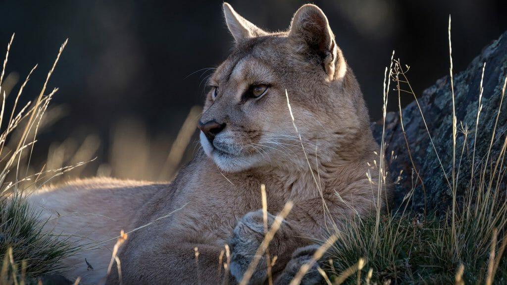 Puma, Torres del Paine, Chile