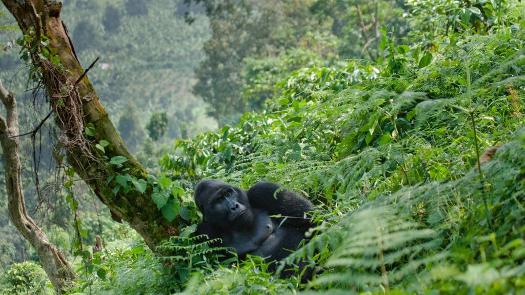 Dominant male mountain gorilla in the grass, Bwindi Impenetrable National Park, Uganda