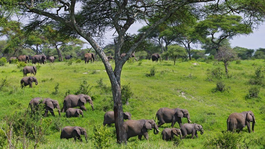 Elephant herd, Tarangire, Tanzania