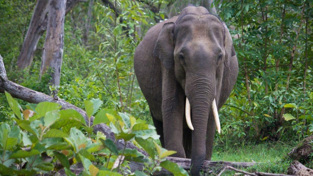 Elephant, Nagarhole National Park, India
