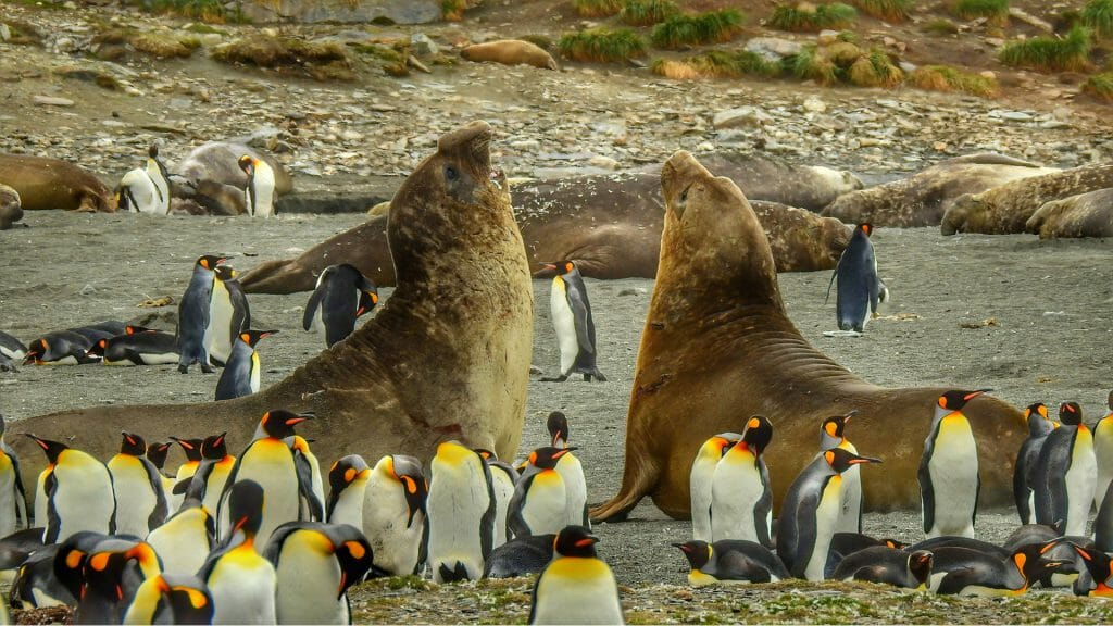 Elephant seals amongst king penguins