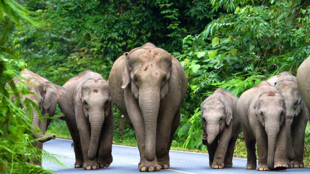 Elephants Doi Suthep National Park Chiang Mai