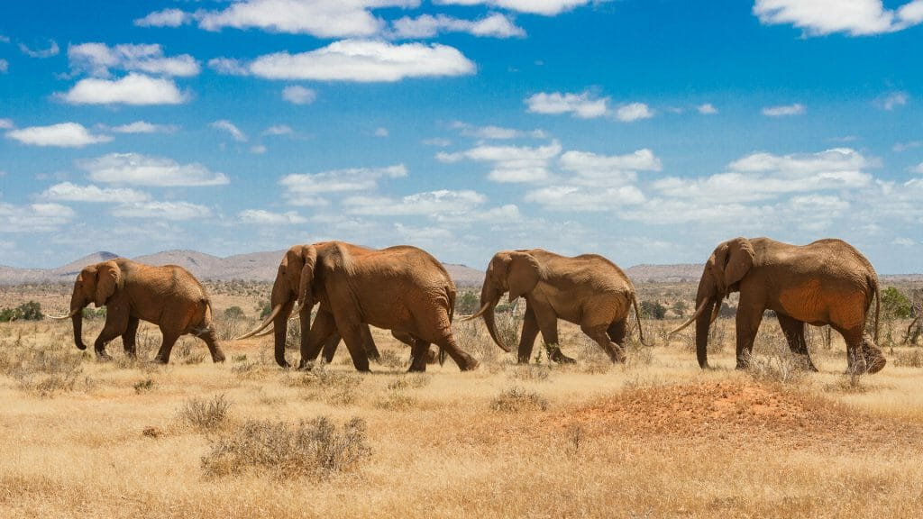 elephants, Tsavo national park, kenya Africa