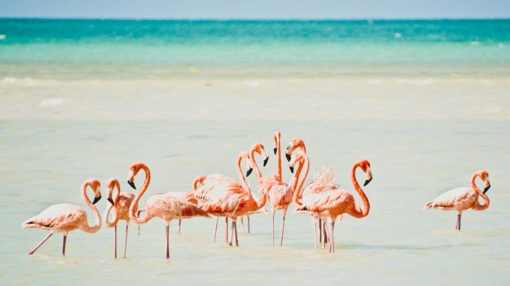 Pink Flamingos, Isla Holbox, Mexico