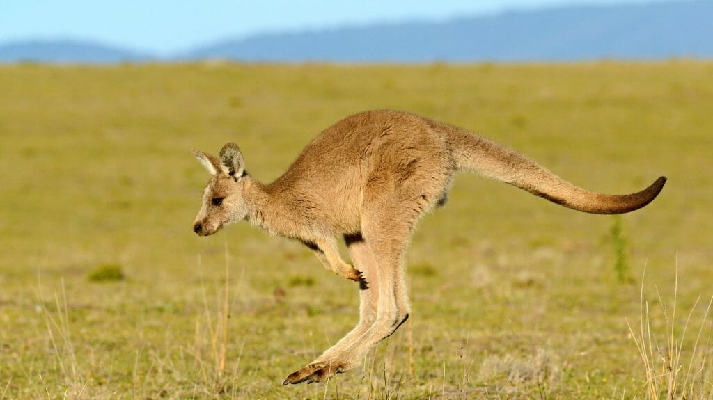 Forester (Eastern grey) Kangaroo, Tasmania, Australia