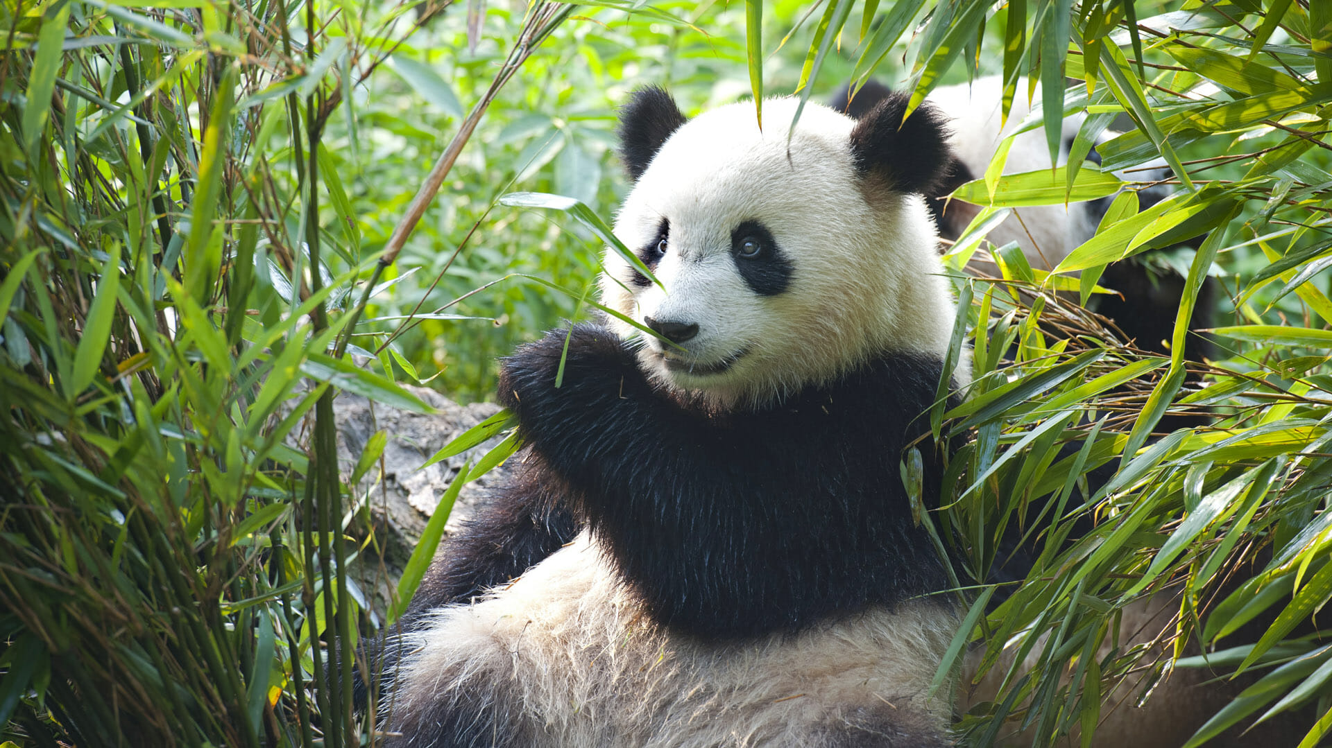 What can you do with the new Pandas? | by Harshdeep