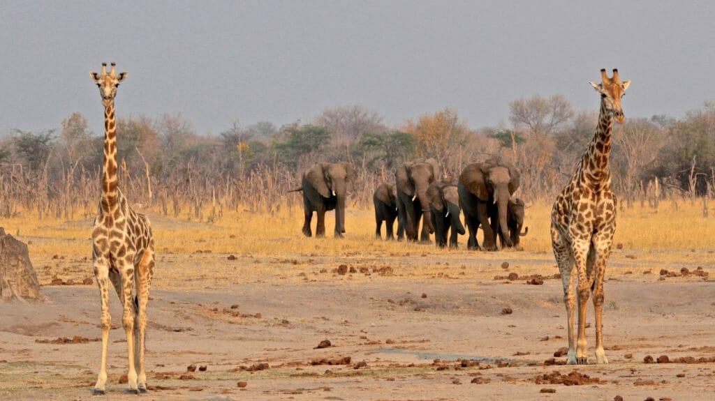Giraffe and Elephants by Camp, Camelthorn Lodge, Hwange, Zimbabwe