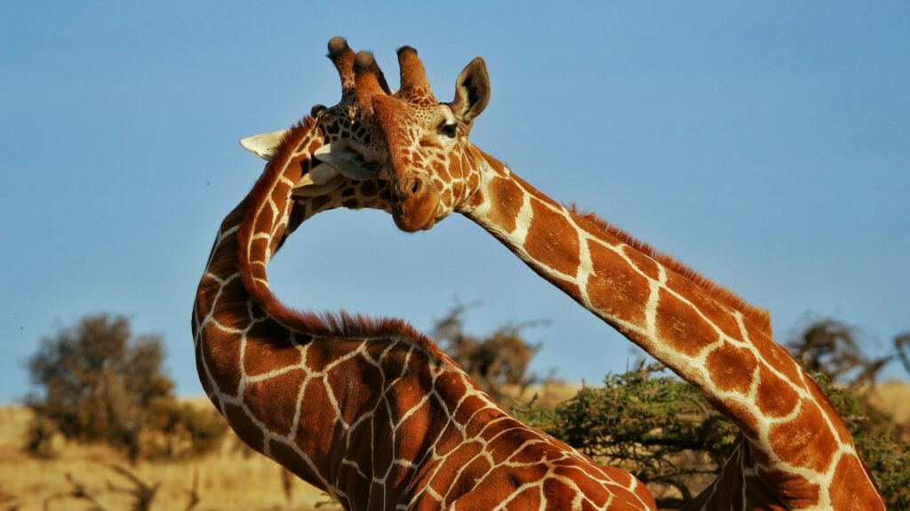 Giraffes necking, Lewa, Laikipia, Kenya