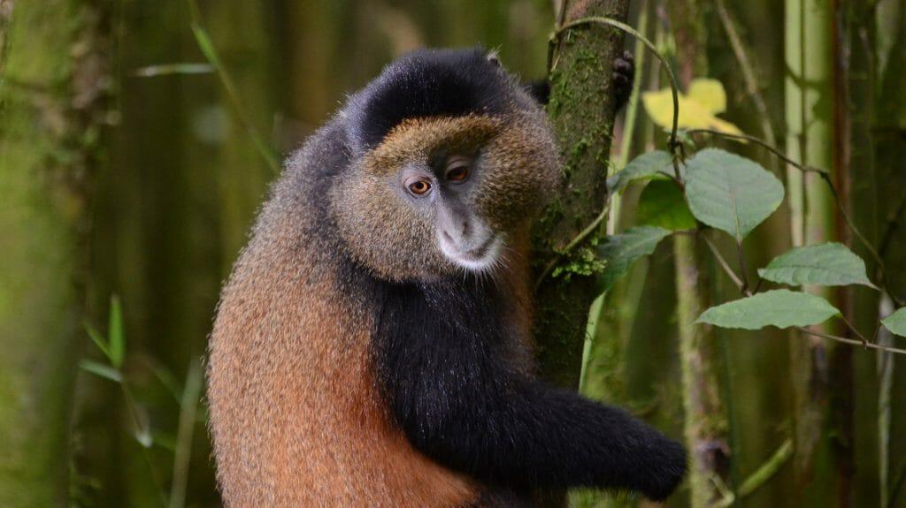 Golden monkey, Volcanoes National Park, Rwanda