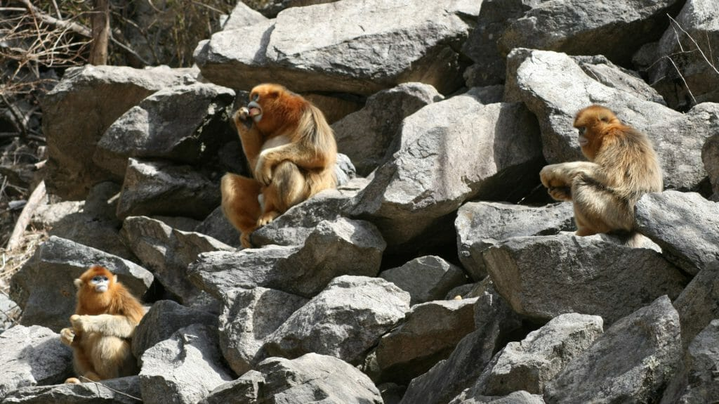 Golden Monkeys, China