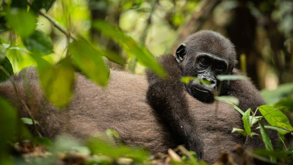 Gorilla, Dzanga Sangha, Central African Republic