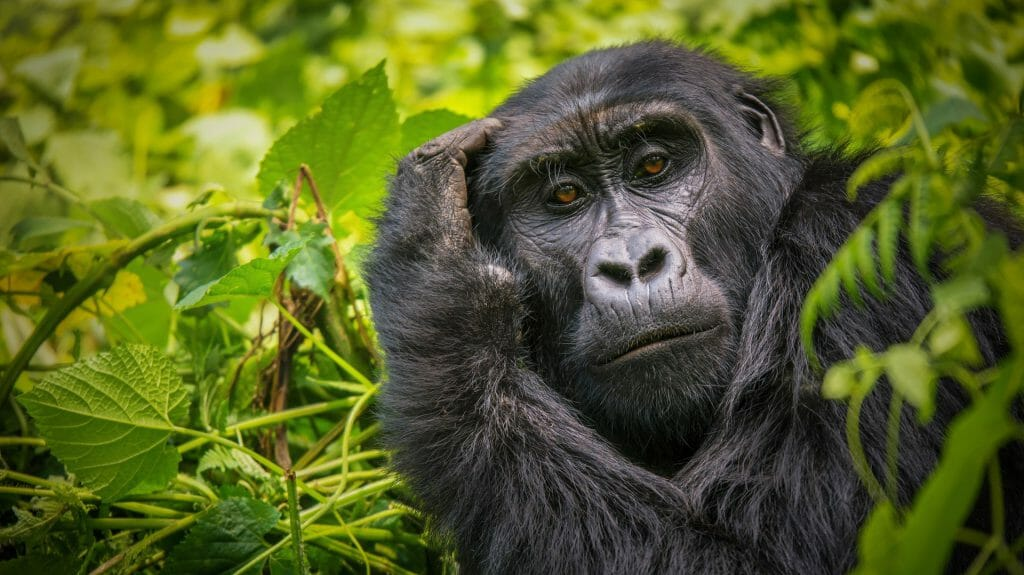 Gorilla scratching its head, Bwindi Impenetrable National Park, Uganda