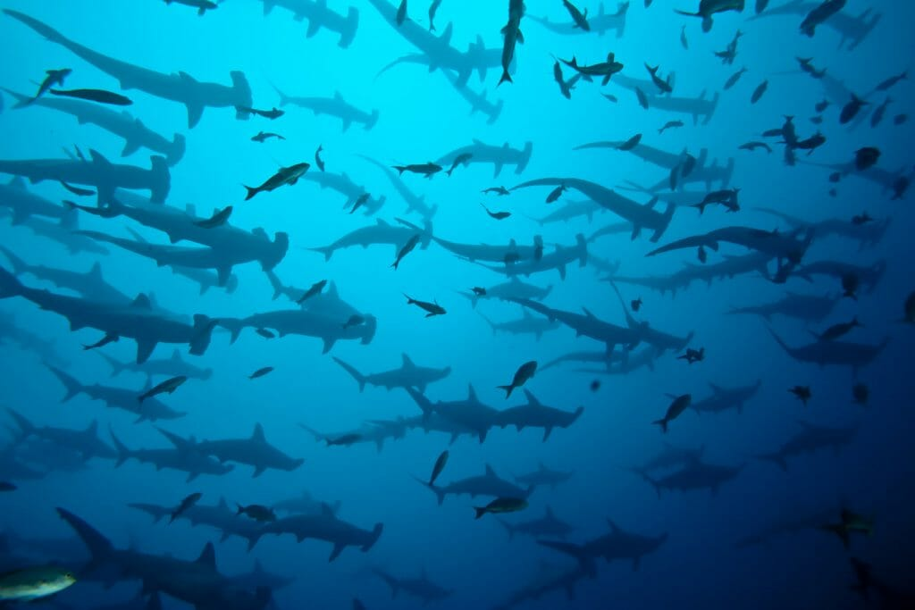 Hammerhead Sharks, Galapagos Islands