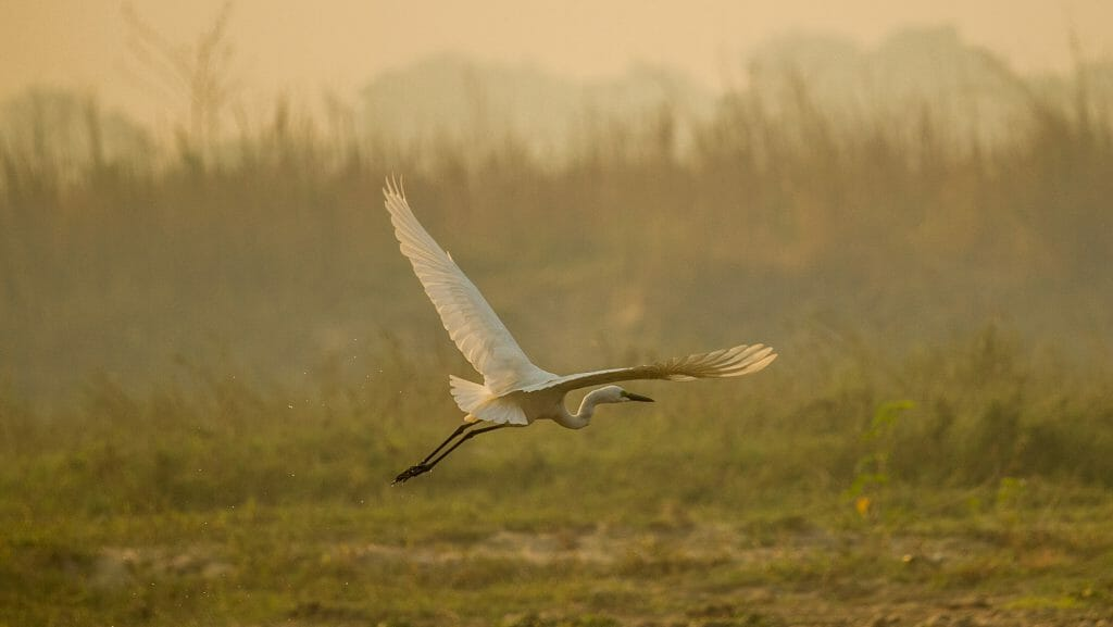 heron type bird flying at the chitwan national park