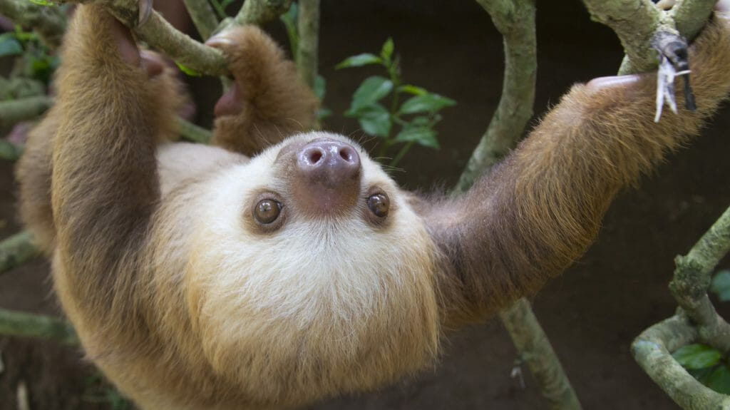 Hoffmann's Two Toed Sloth, Puerto Viejo, Costa Rica