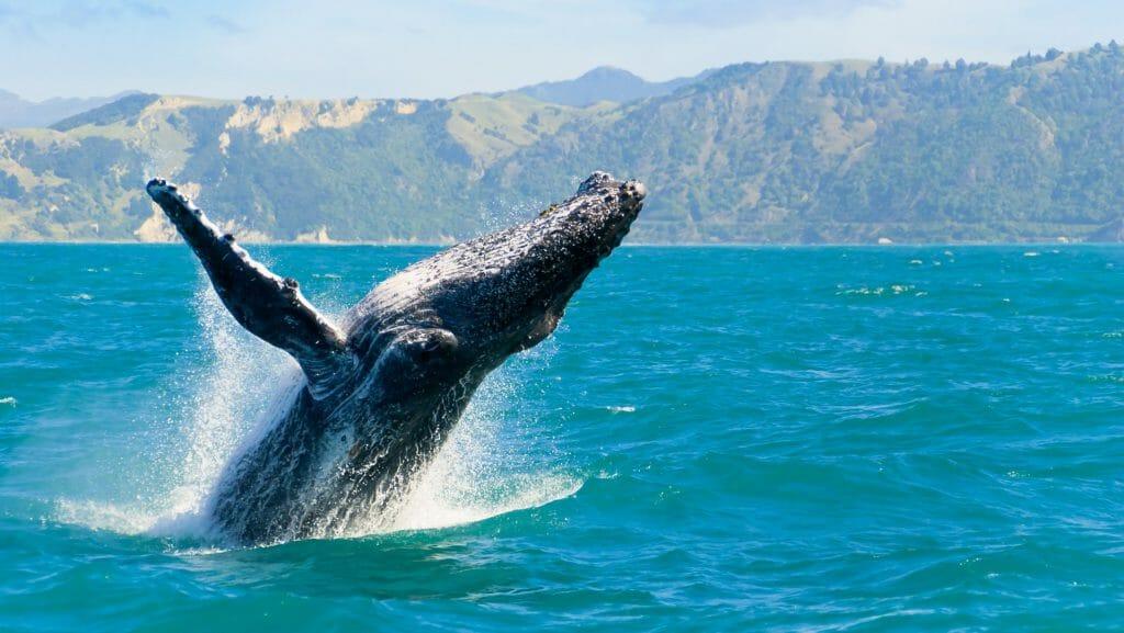 Humpback Whale, Kaikoura, New Zealand
