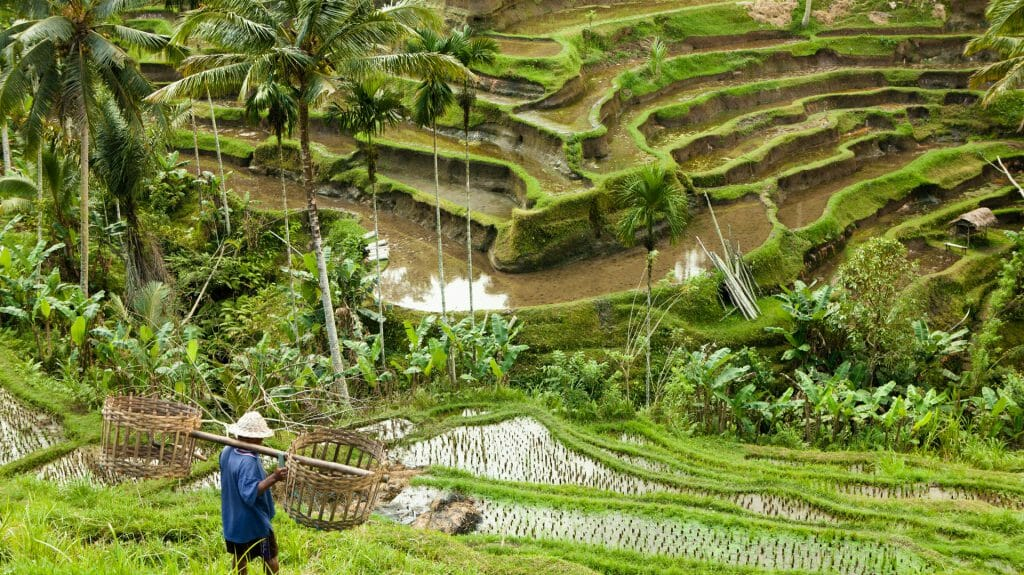 Indonesia, Bali paddy fields