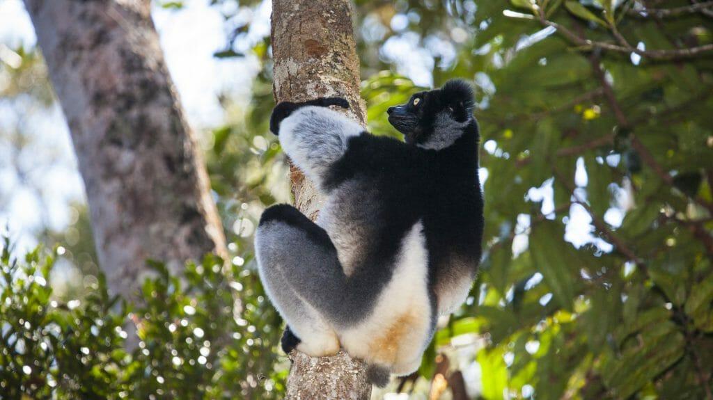 Indri clinging to tree, Andasibe Mantadia, Madagascar