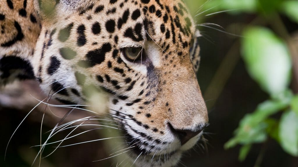 Jaguar, Belize