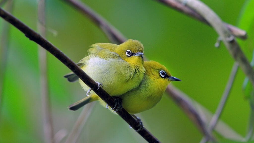 Close up of two fluffy green birds with white rimmed eyes snuggled together on branch.