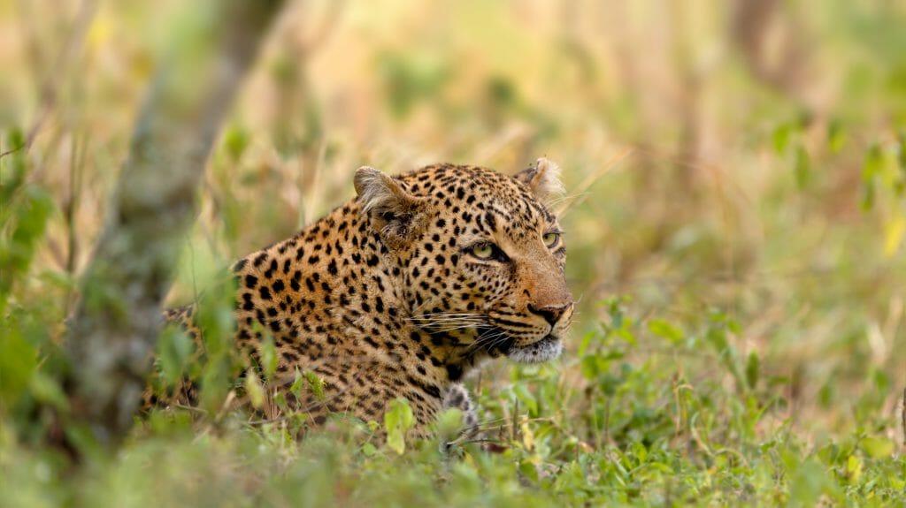 Kenya Leopard, Talek River in Masai Mara, Kenya