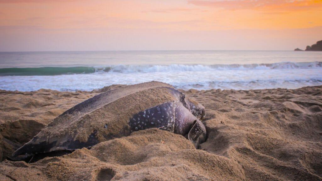 Leatherback Turtle on the Caribbean Coast