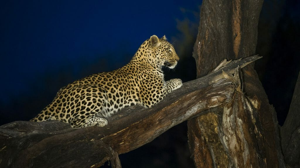 Leopard at night, Marataba Game Lodge, The Waterberg