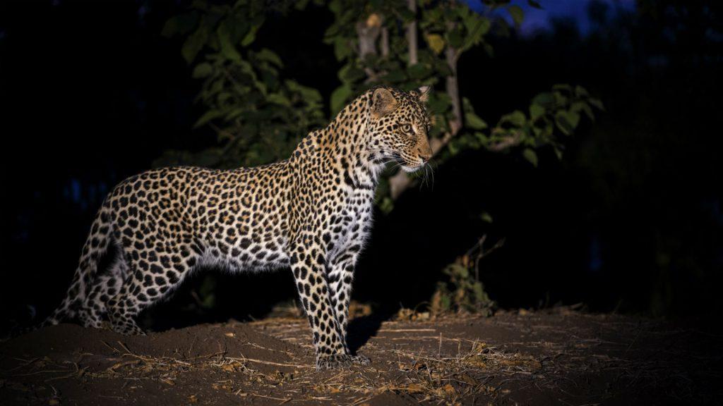 Leopard, Hwange, Zimbabwe