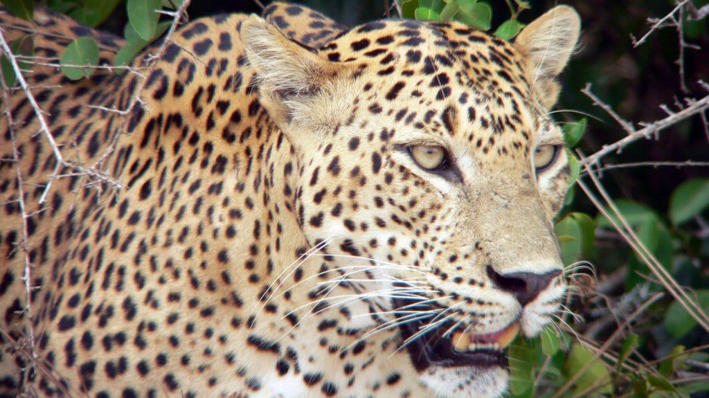 Leopard, Wilpattu National Park, Sri Lanka