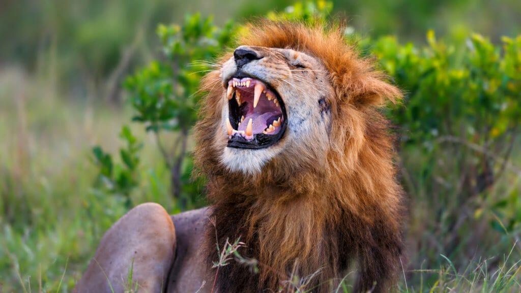 Lion growling in Masai Marai, Kenya