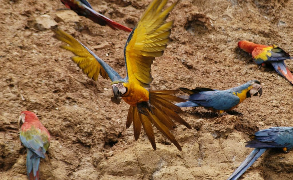 Macaws, Amazon, Peru
