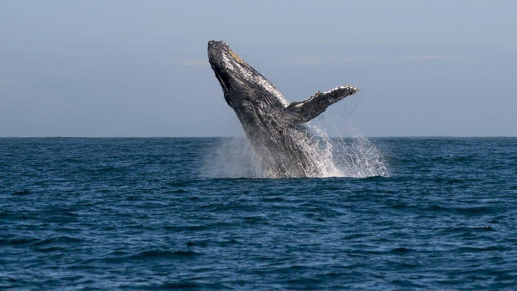 Manafiafy, Whale breaching,