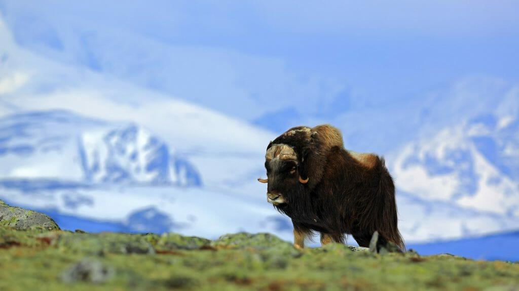 Musk Ox, Greenland